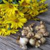 Как выращивать топинамбур на дачном участке