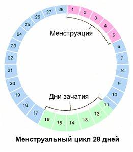Как считать месячный цикл